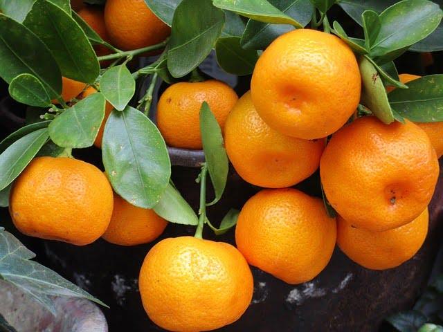 mandarinas en un árbol