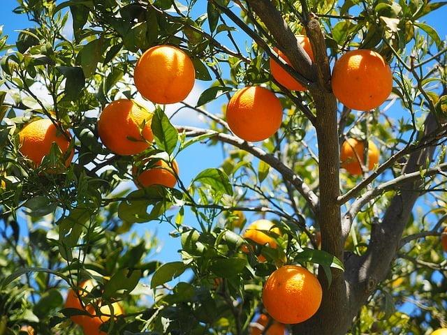 naranjas en un árbol